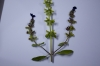Salvia viridis L.Grecia - Monte Athos