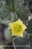 Ecballium elaterium L.
