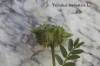Tribulus terrestris L.