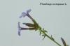 Aggiungi una descrizione…Plumbago europaea L.
