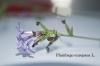 Plumbago europaea L.