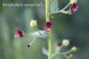Scrophularia peregrina L.