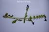 Salvia viridis L.