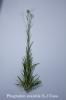 Phagnalon saxatile L.